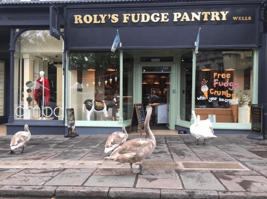 Swans at Roly's Fudge Wells